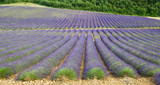 Lavender field in Provence, France - 208887516