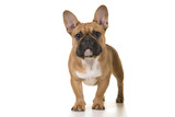 Fototapeta Zwierzęta - Adult french bulldog standing looking at camera on a white background © miraswonderland