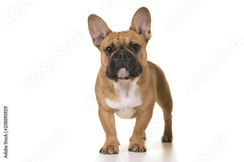 Canvas Franse bulldog Adult french bulldog standing looking at camera on a white background