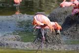 flamants roses près de leur mare dans leur enclos vus au zoo