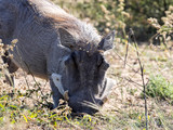 Male Desert Warthog, Phacochoerus aethiopicus, Botswana - 208896999