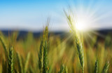 Closeup of green wheat in sunlight. - 208899328