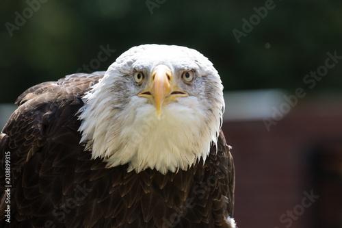 Plexiglas Eagle bird of prey