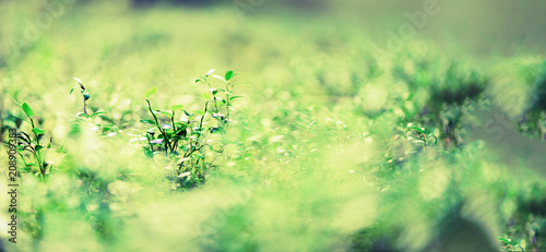 Green natural background, out of focus. Forest bokeh. Banner. Copy space. Blurred abstract texture. Summer concept. Wild nature © jchizhe