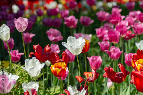 Tulips of different colors in a meadow