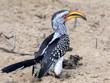 Yellow-billed hornbill, Tockus flavirostris, looking for food, Botswana