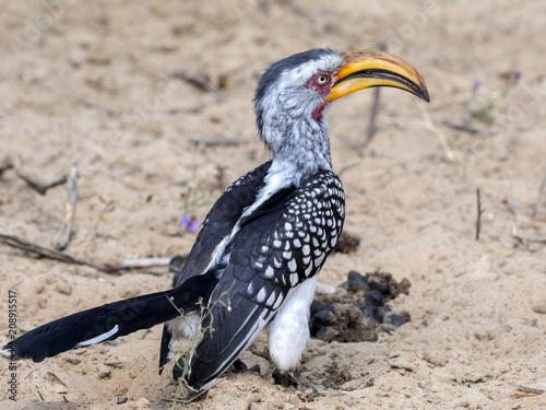 Foto Murales Yellow-billed hornbill, Tockus flavirostris, looking for food, Botswana