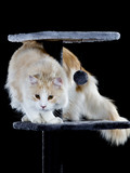 Maine coon cat isolated on black. - 208927504