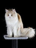 Maine coon cat isolated on black. - 208927516
