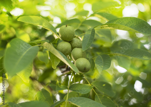 Green walnuts on the tree in early summer