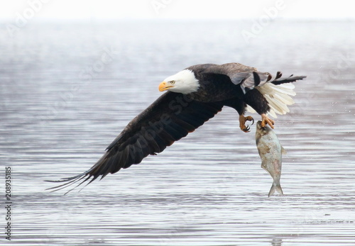 Plexiglas Eagle Daily catch