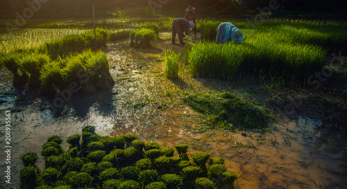 Fotobehang Rijstvelden Rice field in thailand