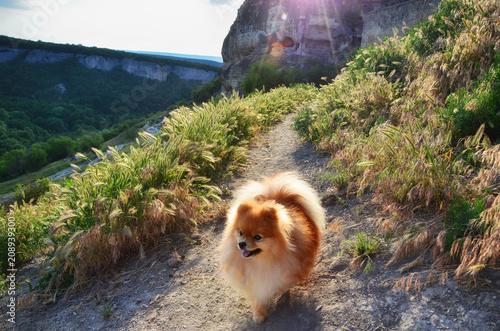 Aluminium Zomer The dog walks along the path of the cave city at sunset, the Pomeranian