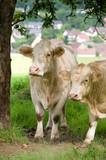 Kühe unter einem Baum