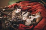 Welsh corgi pembroke sweet puppies - 208945552