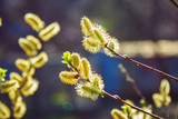 Bright yellow Salix willow tree catkin budsin sunlight at spring. Abstract natural background.