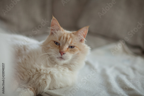 beautiful cat with blue eyes lies on the couch and relaxes