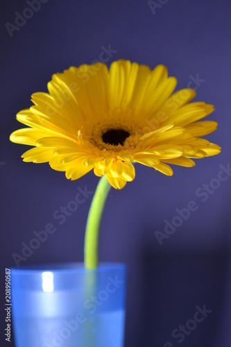 Fotobehang Gerbera flower amber gerbera nature chamomile flora macro summer