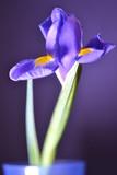 flower iris lilac flora nature light summer bouquet blue
