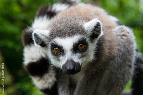 Poster Ring tailed lemur looking at the spectator, close up