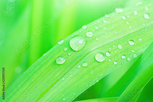 Leinwanddruck Bild Fresh Green Grass Leaf after Rain with Water Drops. Botanical Nature Background. Wallpaper Poster Template. Organic Cosmetics Wellness Spa Ecology Protection Concept. Inspirational Image