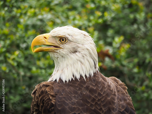 Plexiglas Eagle American Bald Eagle