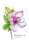 Botanical illustration. Postcard card with blossoming pink magnolia flower. Imitation of watercolor. Drawing with alcohol markers. - 208960727