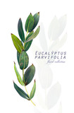 Botanical illustration. Postcard card with twigs of eucalyptus parvifolia. Imitation of watercolor. Drawing with alcohol markers. - 208960761