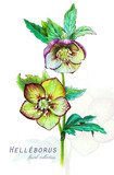 Botanical illustration. Postcard card with blossoming hellebore (Helleborus odorus) flower. Imitation of watercolor. Drawing with alcohol markers. - 208960926