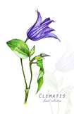 Botanical illustration. Postcard card with Purple Clematis flower. Imitation of watercolor. Drawing with alcohol markers. - 208960993