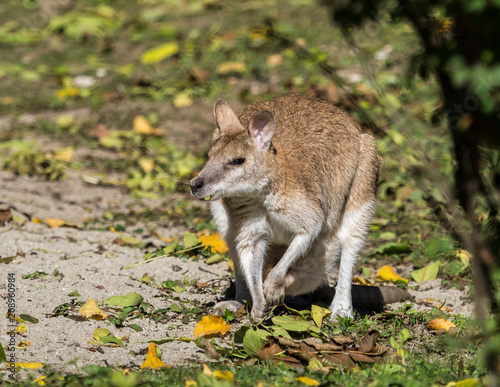 Plexiglas Kangoeroe Flinkwallaby - Macropus agilis
