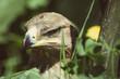 Portret orła przedniego