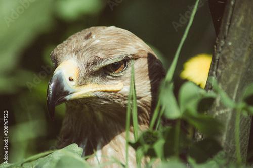 Plexiglas Eagle Portret orła przedniego