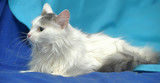 Fluffy white with a gray cat on a blue background - 208970355