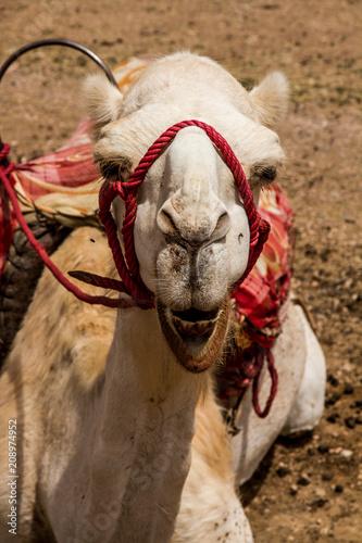Fototapeta Camel