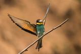 bee-eaters, Merops apiaster, sits on a branch, Bienenfresser - 208977588