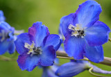 delicate blue with purple delphinium flowers on a blurry green background. bright summer garden. beautiful natural composition - 208986920