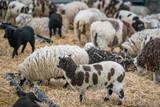 Crowd of sheeps standing inside barn - 208988516