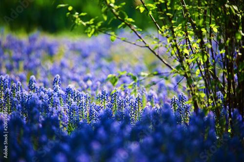 Fotobehang Lavendel The beautiful hyacinth in the garden.