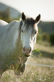 Grey horse standing in field with long grass looking straight forward