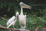 White pelican with bag under its beak sits on tree - 209007549