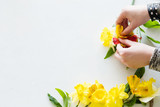 flower arranging white background. florist creating a yellow narcissus on white background. copyspace concept