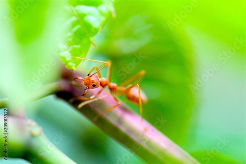 Closeup red ant with blurred light background  - 209013522