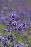 Lavender flowers blooming in the garden, beautiful lavender field - 209015341