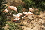 Among the green vegetation on the rocky shore fed pink flamingos