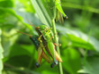 Closeup Photo of two grasshoppers in the wild