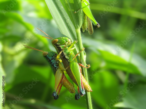 Foto Murales Closeup Photo of two grasshoppers in the wild