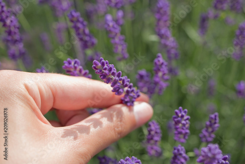 Hand holding blossom of lavender in the meadow - 209026978