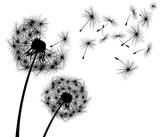 Dandelion, flower. Dandelion, flowering  plant. Silhouette of dandelion on white background