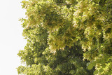 wunderschöne Lindenblüten am Zweig